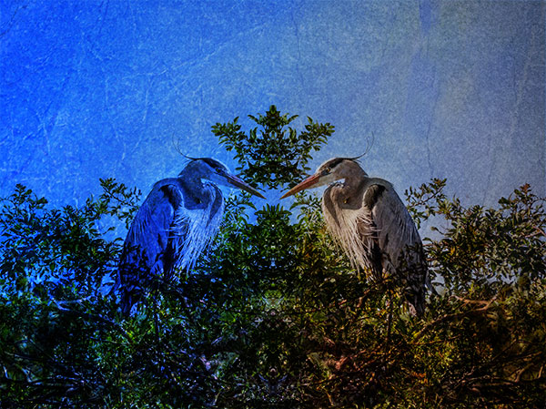 great blue heron photo art image