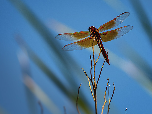 dragonfly wildlife