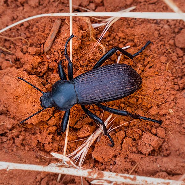common desert beetle photo