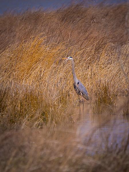 gret blue heron bob coates photography