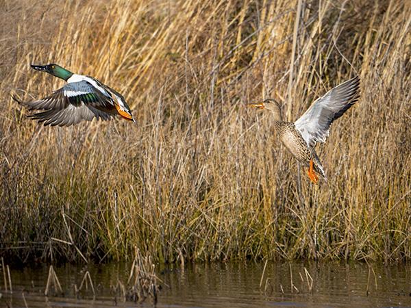 northern shoveler ducks in flight image