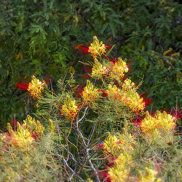 false bird of papdise flower