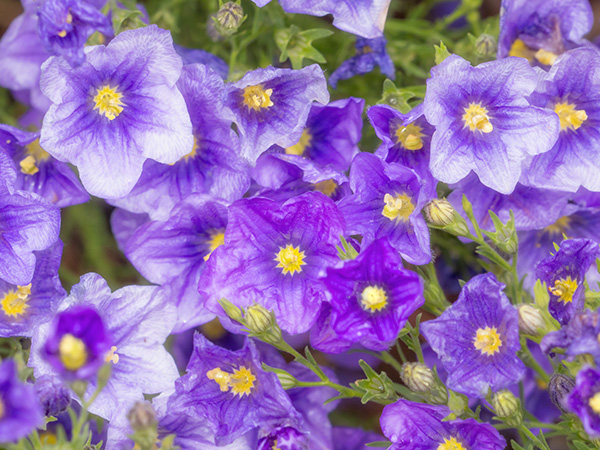 purple and lavendar flowers
