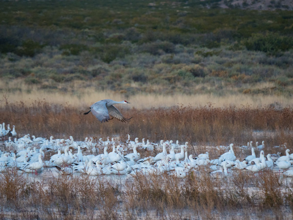 sandhill crane landing over snow geese