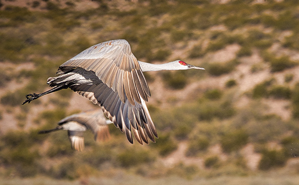 snadhill crane in flight photo