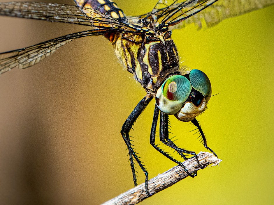 dragonfly close-up image