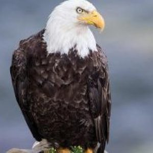 bald-eagle-on-a-cliff-michel-soucy[1]