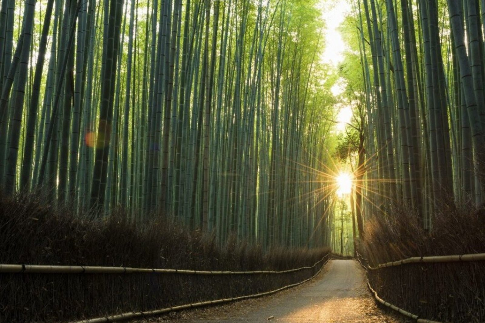 Beauty in nature at a pristine bamboo forest at sunrise