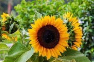 sunflower-4654173_640