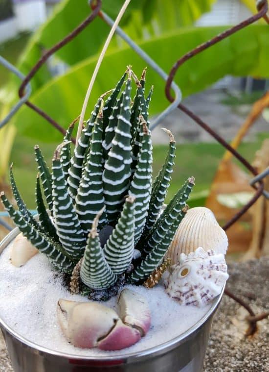 Suculenta Cebra (Haworthia Attenuata) – Cuidados