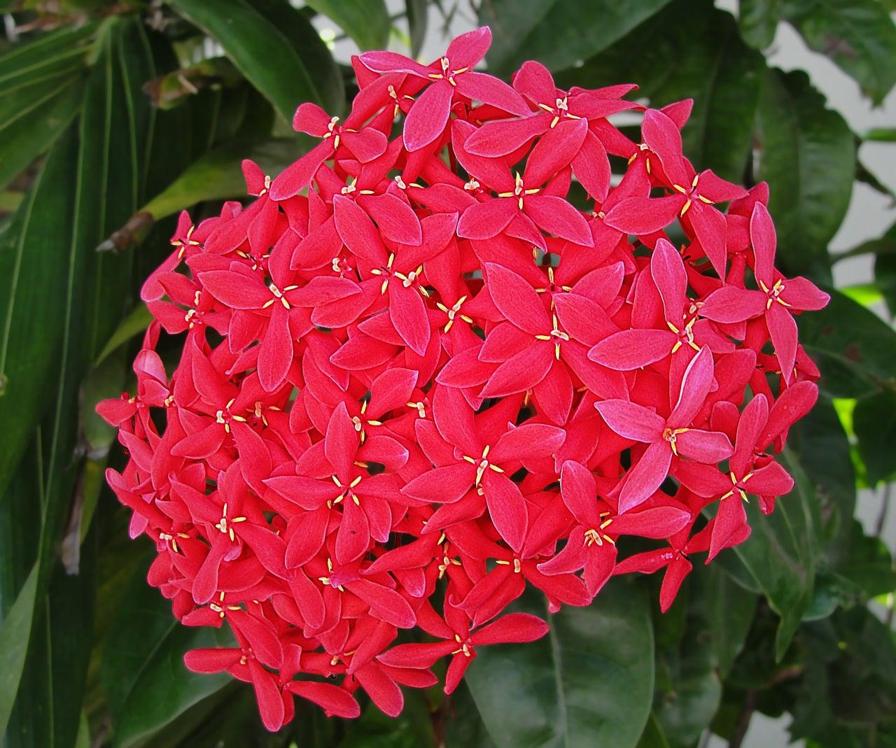 Cruz de malta ixora usos y cuidados succulent avenue for Plantas ornamentales y sus cuidados