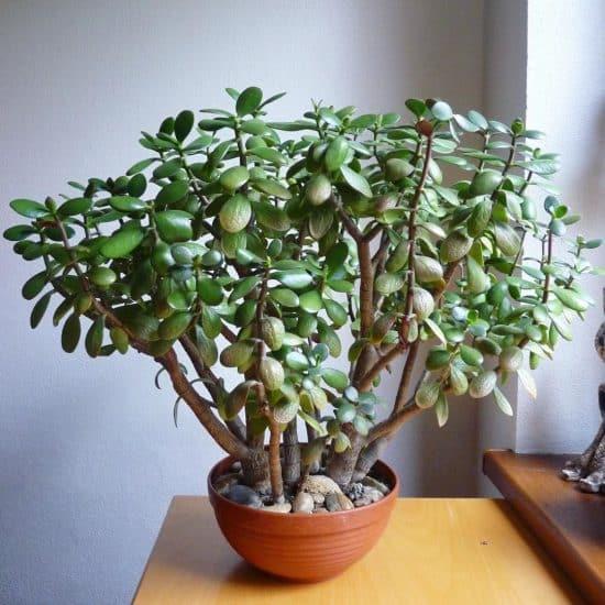 Foto de planta Jade (Crassula ovata)
