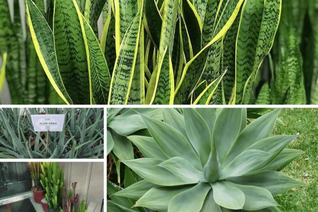 5 plantas que no sab as que son suculentas succulent avenue for Plantas ornamentales y sus cuidados