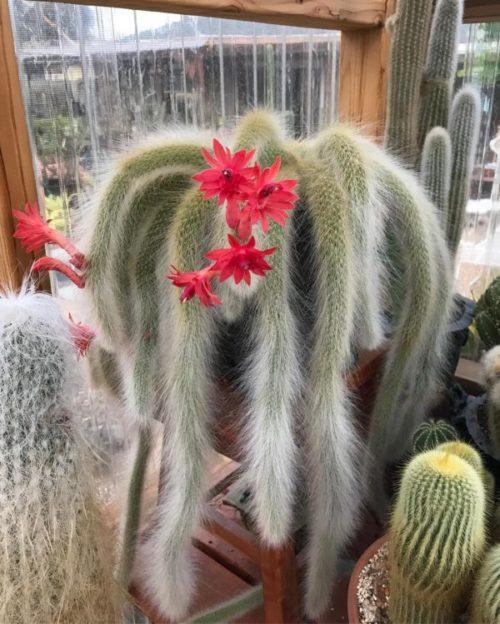 Cactus cola de mono - Guía de cuidados