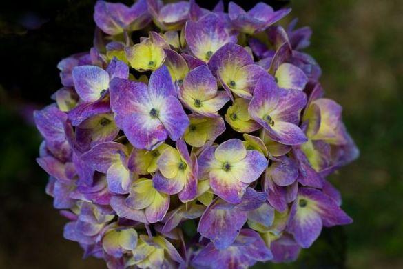 Mi hortensia no florece. Cómo hacerla florecer.