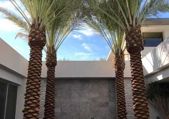 Fotos de palmera datilera (3)