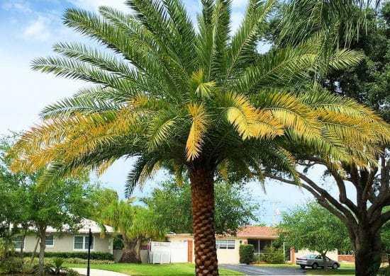 Fotos de palmera datilera