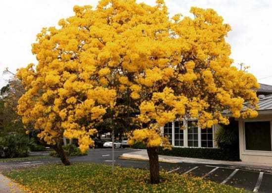 Fotos de lapacho amarillo