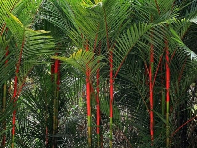beneficios de aceite de palma roja