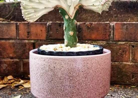 Fotos de cactus coral