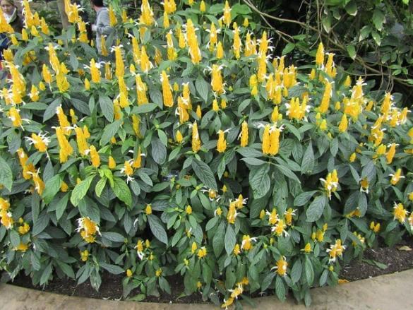 planta camarón (Pachystachys lutea)