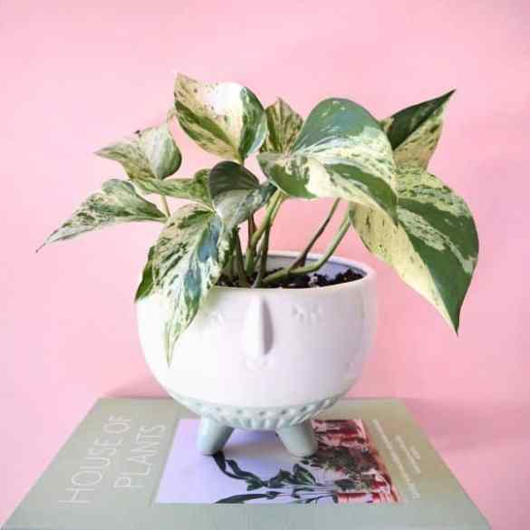 Planta Potos Marble Queen- cuidados y fotos