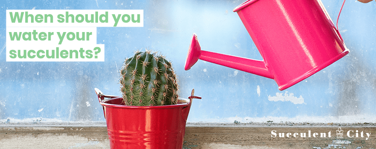 When you should water you succulents?