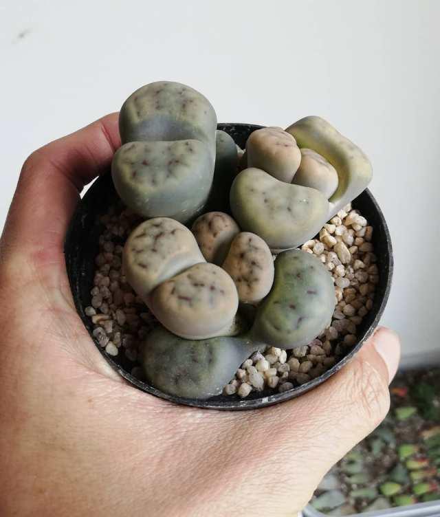 Living Stones Succulent in Planter Held in Hand
