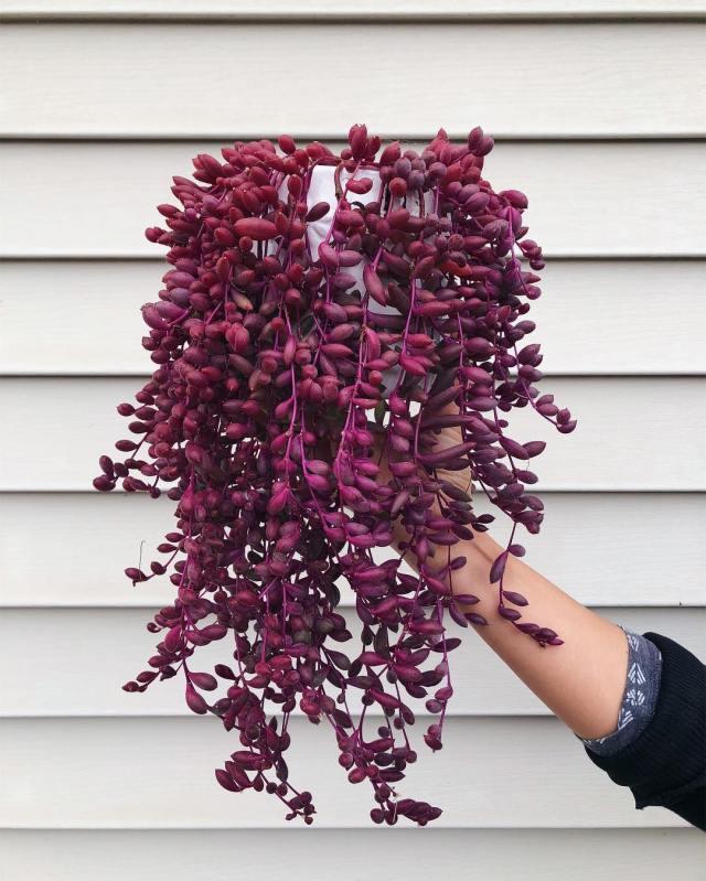 Othonna Capensis Ruby Necklace succulent plant