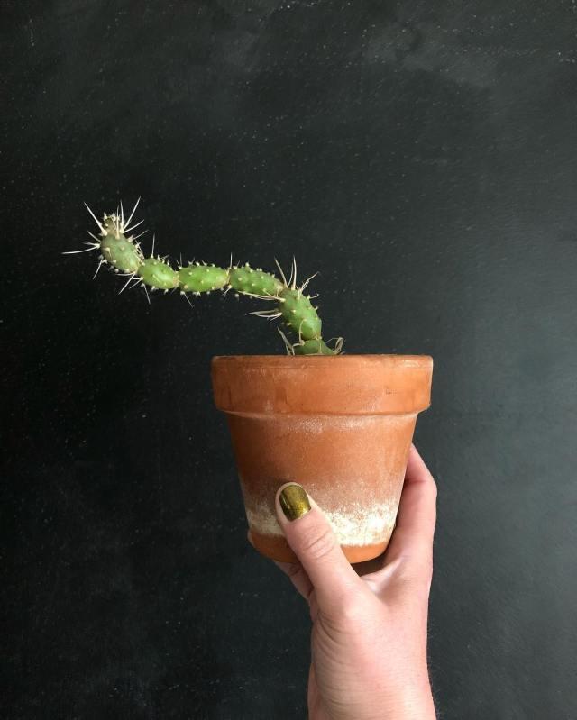 Tephracactus Articulatus Paper Spine Cactus rare succulent