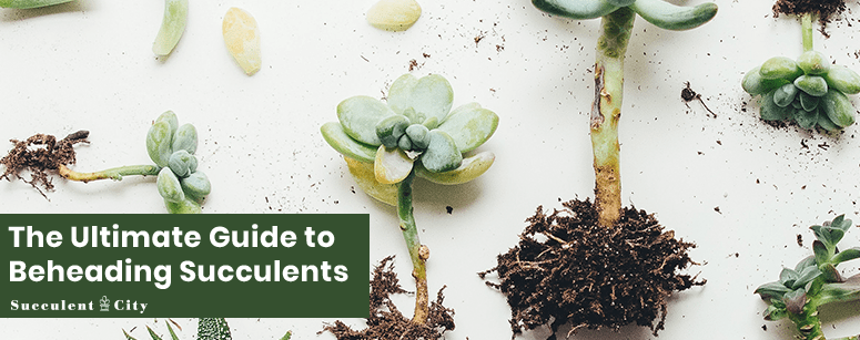 Ultimate Guide to Beheading Succulents