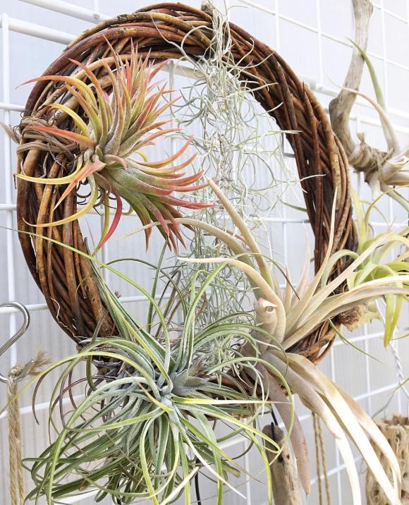 Air plants on circle planter reef