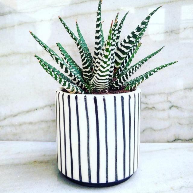 Haworthia Fasciata Succulent Plant