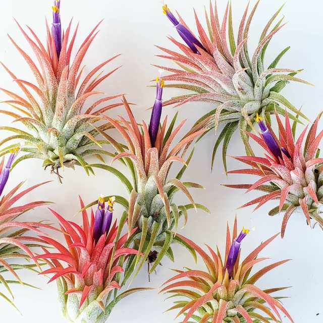 How to water air plants the right way