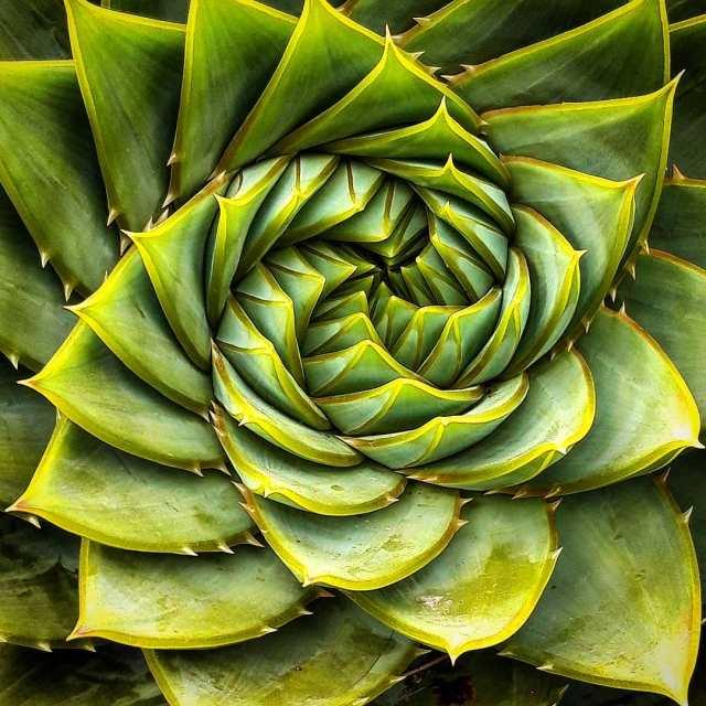Monocarpic succulent plant succulent city
