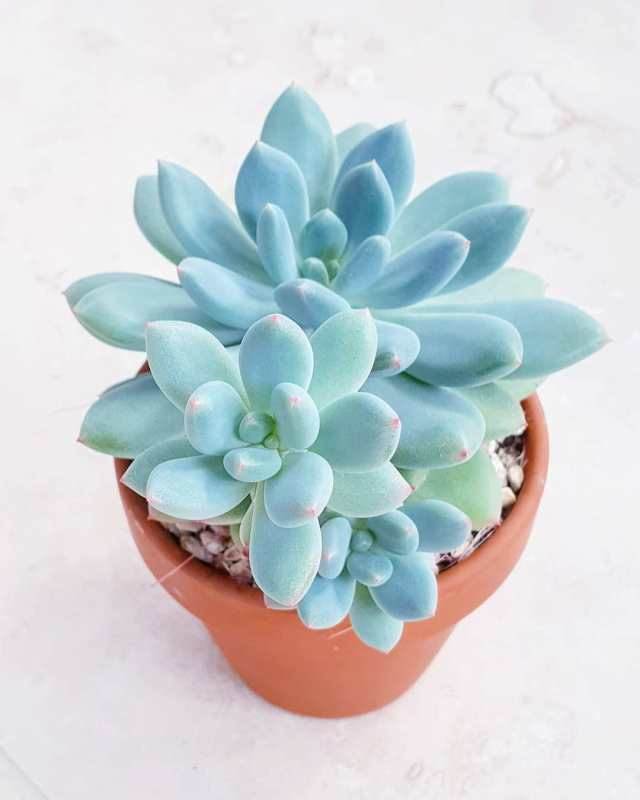 Pachyveria 'jeweled crown' succulent plant