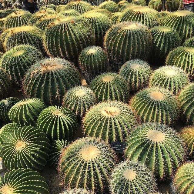Barrel Cactus Ferrocactus Species