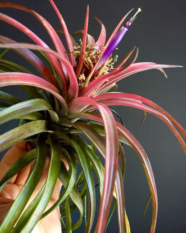 Everything you need to know about air plants or tillandsias