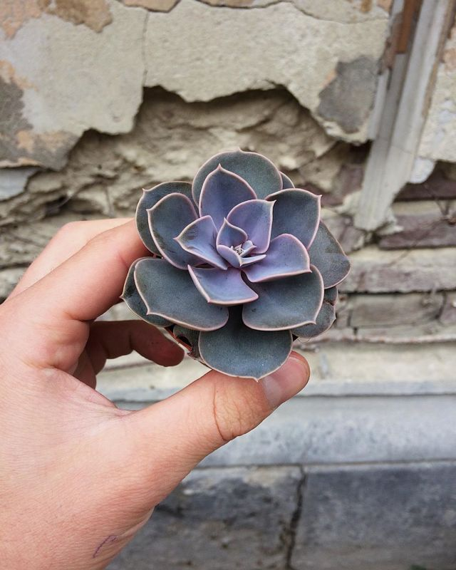 How long do succulents live for
