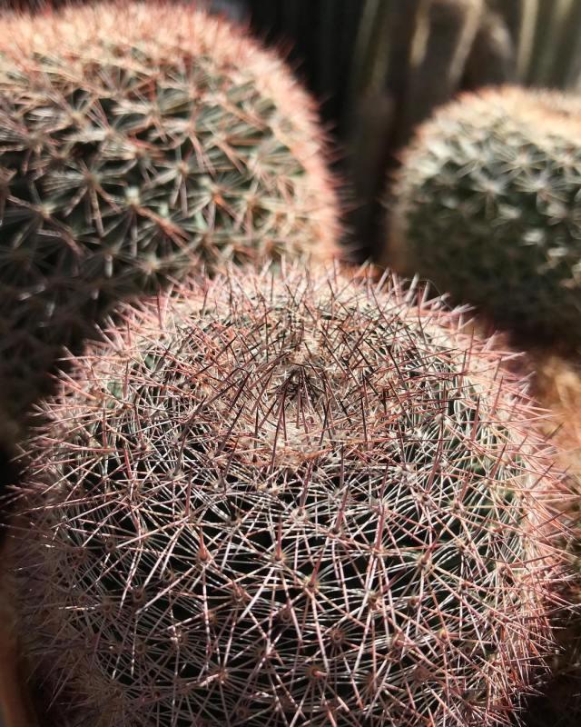 The pin cushion cactus mammillaris