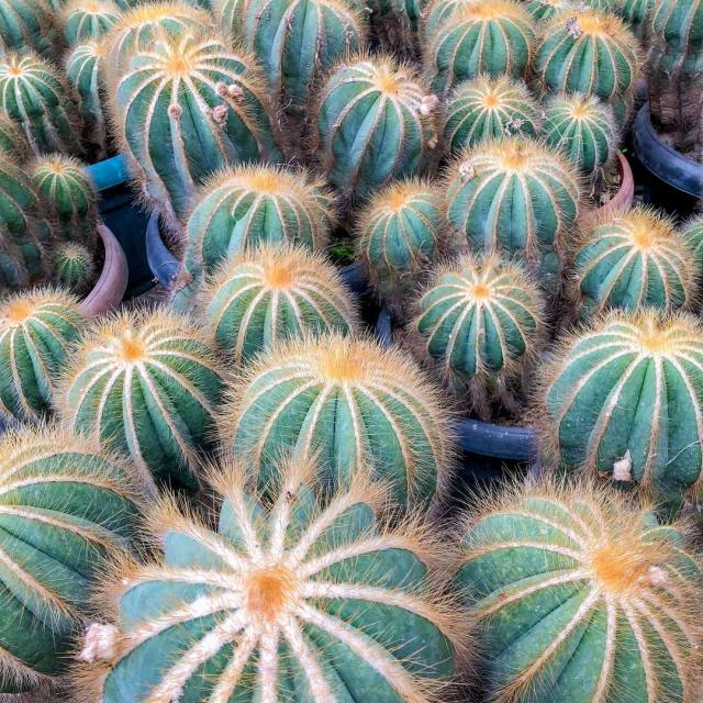 The Rounded Ball Cactus— Parodia Magnifica