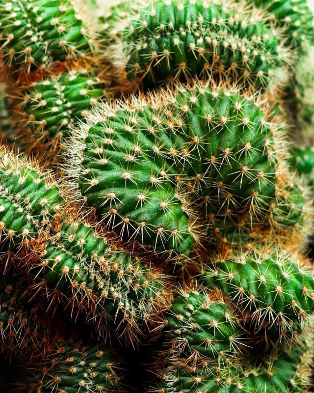 everything to know about the brain cactus