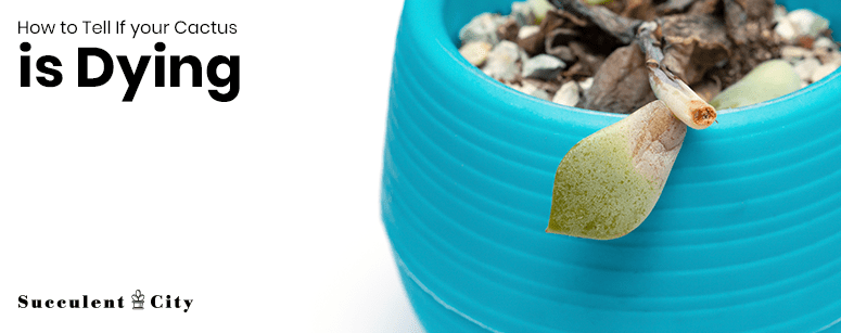 How to Tell if Cactus is Dying