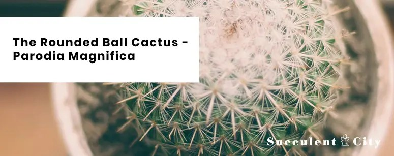 The Rounded Ball Cactus Parodia Magnifica