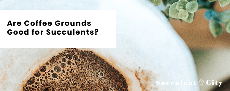 Are Coffee Grounds Good for Succulents?