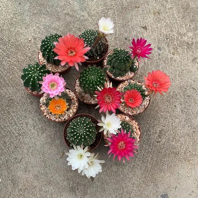 All You Need to Know About Echinopsis