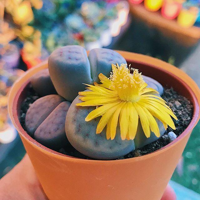 Cutest Succulents Living Stones Lithops