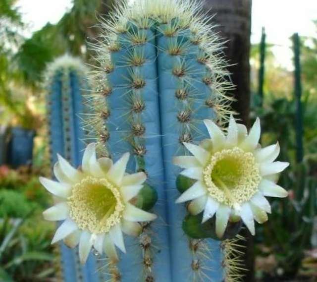 The Beautiful Blue Cacti—Pilosocereus