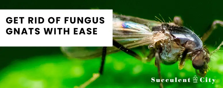Get Rid of Fungus Gnats With Ease