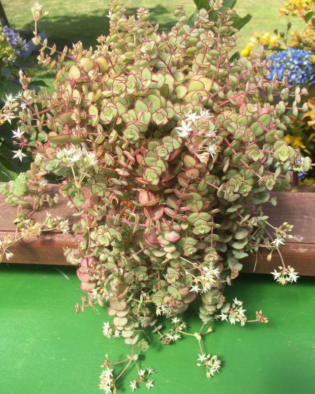 Pink Succulents-Crassula Pellucida (Calico Kitten Crassula)-SC